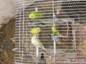 طيور ببغاء فروخ استرالية من عمر الى شهرين