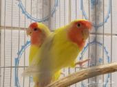 زوجين روز من أروع الطيور وشبه اليف