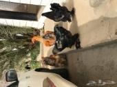 دججاج براهمما