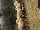 60 خروف حري .. للبيع ..