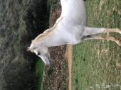حصان فحل فاخر