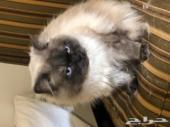 قطط نوع هملايا للبيع