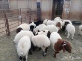40 رأس هرافي نعيم من 635 ريال في طريف
