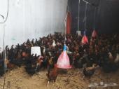 دجاج بلدي.