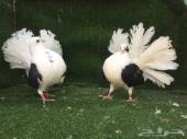 رقاص هولندي مكتف اسود Top