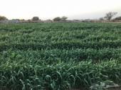 مزرعة للبيع وليست للإيجار
