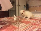 قطة شيرازي كفو للبيع