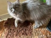 قطط مون فيس  انثي وذكر منتجين للبيع