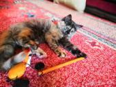 قطه شيرازي للبيع انثى حبوبه