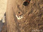 دجاج فارسى