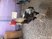 زوج دجاج باكستاني تب