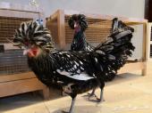 بيض دجاج براهما و بولش