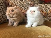 قطط بكي فيس شو كولتي من اب مسجل في CFA