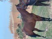 حصان انتاج شيخ