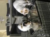 يوجد قطتين ذكر وانثى شيرازيات متعلمات ولعوبات