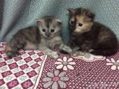 قطة انثى شيرازي تايجر للبيع جدة