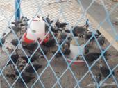دجاج وصوص فيومي العمر شهر ونص للبيع