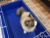 قطه هملايا انثى 150