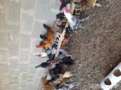 دجاج بلدي وديوك فيومي