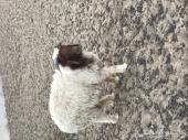 غنم نعيم ذبايح - الجبيل