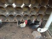 بيض دجاج مخصب