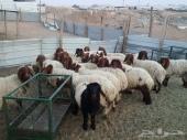 للبيع 25 رأس نعيم تم البيع الحمدلله