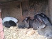 ارانب للبيع في بلجرشي