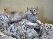 قطة شيرازي هاف بيكي فيس للبيع