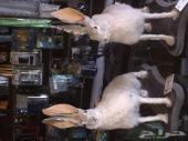 محنطات أرانب بريه ( الربع الخالي )