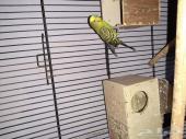 طيور بادجي للبيع مع قفص كبير