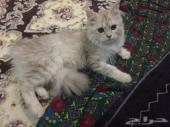 قطه شيرازيه انثى عمرها 7 شهور مطعمه