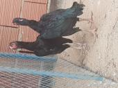 دجاج سندي اسود صك
