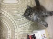 قطه شيرازي هاف بكي كتن 53 يوم
