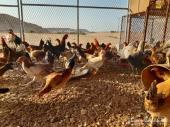 دجاج وديكة للبيع على الشرط