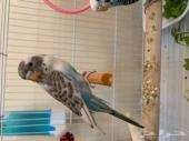 طيور بادجي انتاج