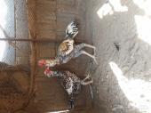 زوج دجاج باكستاني (نسل أبوريتاج)