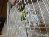 طيور الحب منتجه