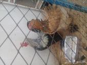 ديك ودجاجه براهما