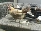 دجاج بلدي وحمام فرنسي ابيض