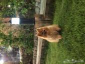 كلاب بومرنيان