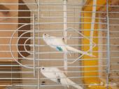 للبيع طيور بادجي الخرج