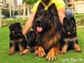 للبيع كلاب بوليسية فاخرة مميزة( جيرمن شيبرد )