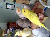 المتعة مع الطيور الأليفة.كروان.روز..صن كنيور