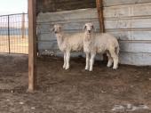 للبيع خروف ورخاال حريات