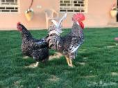 دجاج تركي فيومي