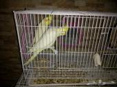 طيور كروان للبيع حبتين أناثي
