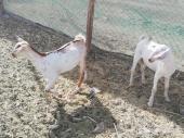 2 تيوس بيشيات جم صهف تم البيع