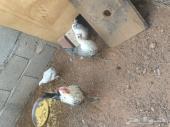 ديك و3 دجاج