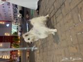 كلب مالتيزي للبيع