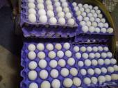 بيض مخصب للفقاسات فيومي شبابي